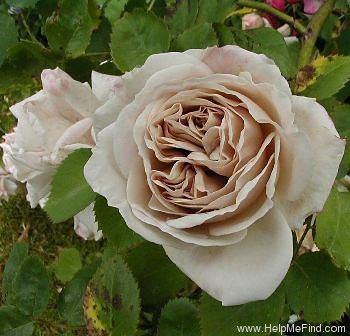 Ash Wednesday roseWednesday Rose Dreamy, Beautiful Flower, Ash Wednesday, Rose Gardens, Aschermittwoch Ash, Climbing Rose, Aschermittwoch Rose, Beautiful Plants, Beautiful Gray Whit