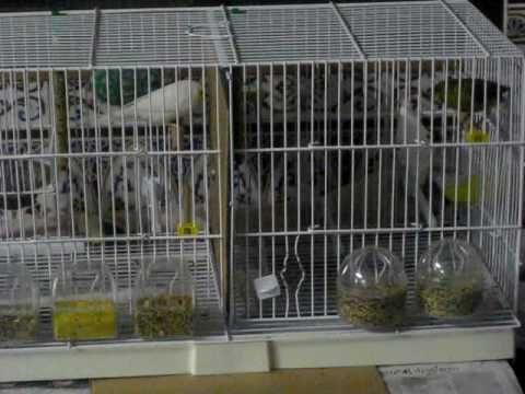 Bueno, los canarios ya llevan unos días juntos en la misma jaula y oyéndose, es un canario hembra blanco y un canario macho verde y blanco, no me importa com...