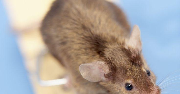 ¿Cómo mover una madre y un nido de ratones?. Si un ratón madre y sus crías se instalan en tu casa, querrás mover las crías tan pronto como sea posible. Los ratones se reproducen rápidamente. Si tienes un ratón madre con un nido de cinco o seis bebés, puedes ser invadido por ratones en tan sólo unos pocos meses. Sin embargo, no tienes que matar al ratón madre y a sus bebés. Puedes simplemente ...