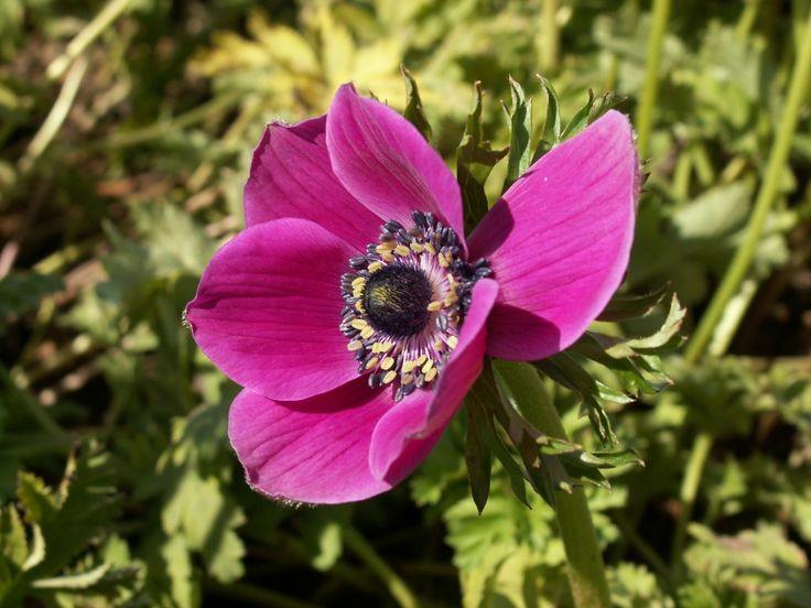 Anemonen achtergronden - http://www.animaatjes.nl/registreren/?ui=13011 - good voor memory training - ik bedoel natuurlijk dat de ingewachte monarch zich heden profileert als paarse  anemoon