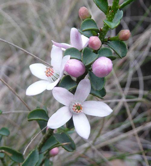 Fairy wax flower