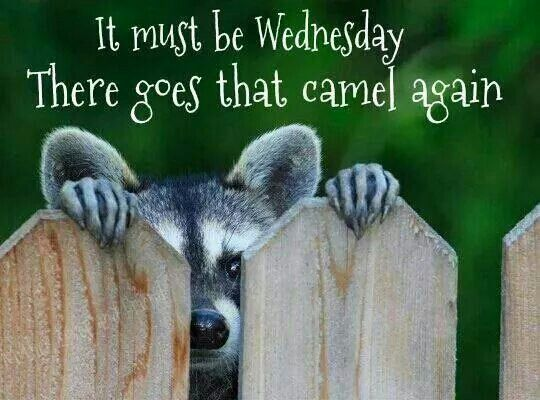 Best Hump Day Quotes: 53 Best Wednesday Memes Images On Pinterest