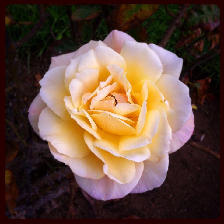 Rosa amarilla en el jardín, Viña. #rosa #rose #flor #jardin