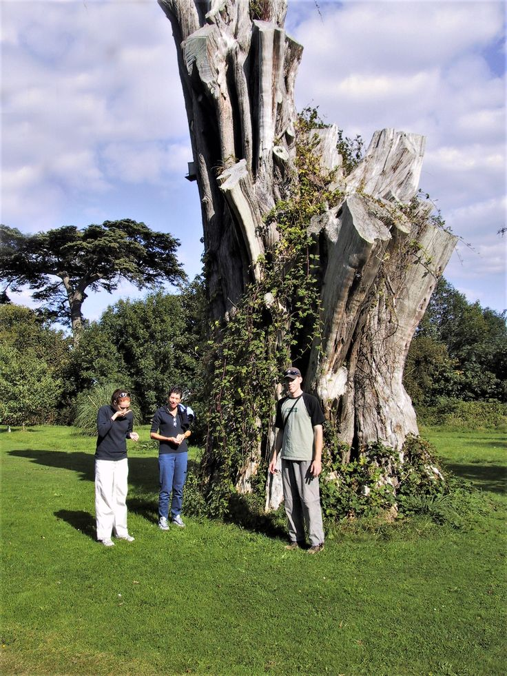 the 'Moreton Macrocarpa' was recognised as the tallest tree in England, and the biggest Macrocarpa in the world.  I used to climb to the top when I was a kid.   Sadly it blew down in a gale in the 1990's, the stump was resurrected for a time, gone now.  This photo taken in 2002.