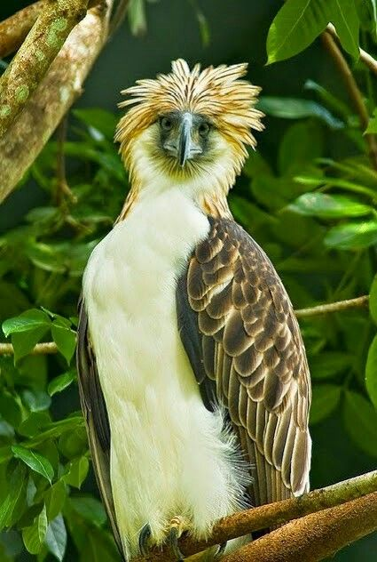 The Great Philippine Eagle - One of the Largest and Most Powerful Birds