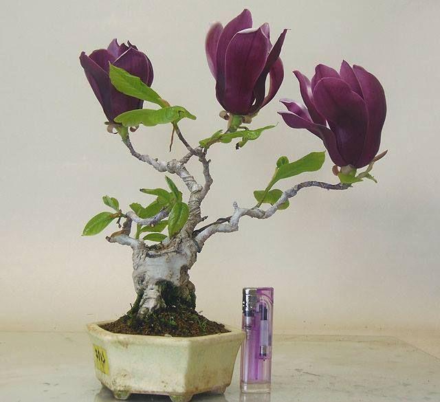 bonsai... i love purple bonsai...not sure what type it is...