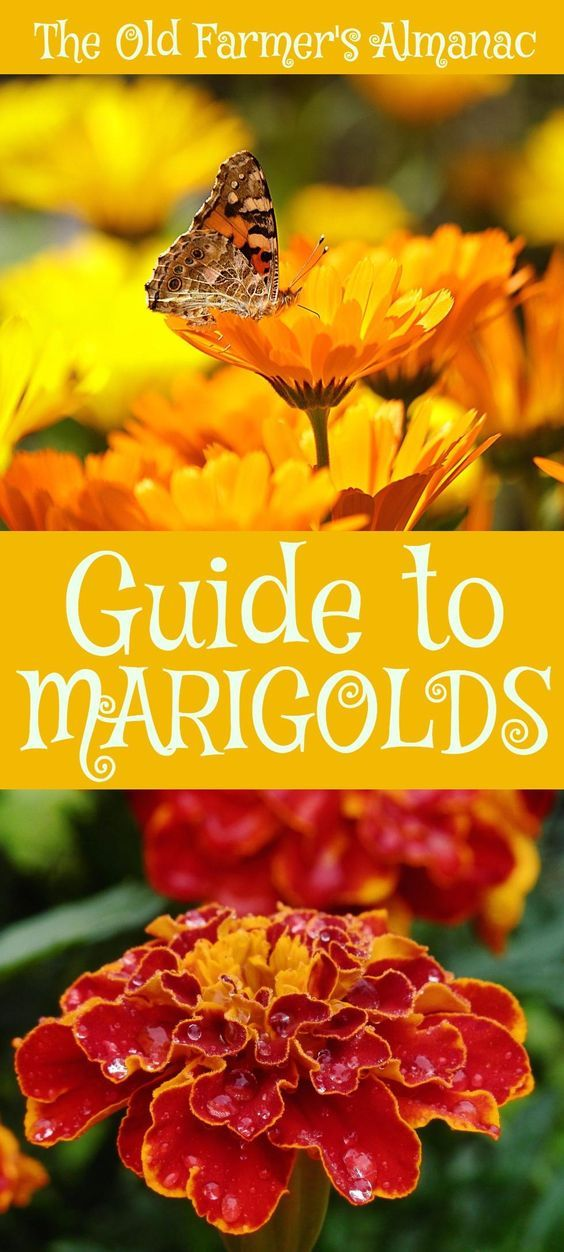 The Complete Old Farmer's Almanac guide to Marigolds: How to plant, grow, and cultivate Marigolds. Information for Marigolds on Almanac.com!