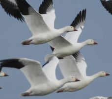 Snow Geese | Steve Emmons / USFWS