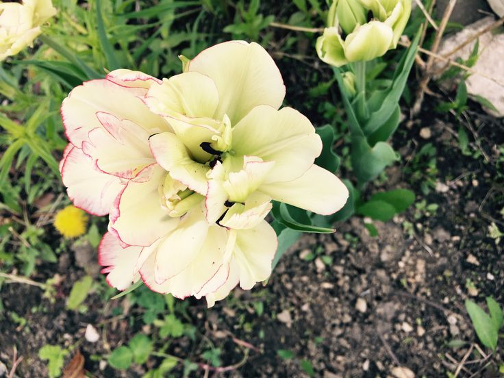 Wild and tulip :)