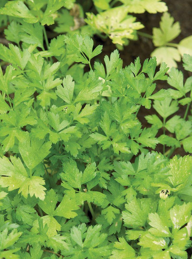 Recette de taboulé ou de salade de persil. Avec du boulghour, des oignons verts, de la menthe fraîche. Une recette libanaise très santé.