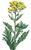 Tansy - Tanacetum vulgare