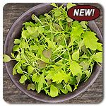 Organic Spicy Mix Micro Greens - A blend of zesty arugula, mustards, and Asian greens with dynamic spicy flavor and an array of colors and t...