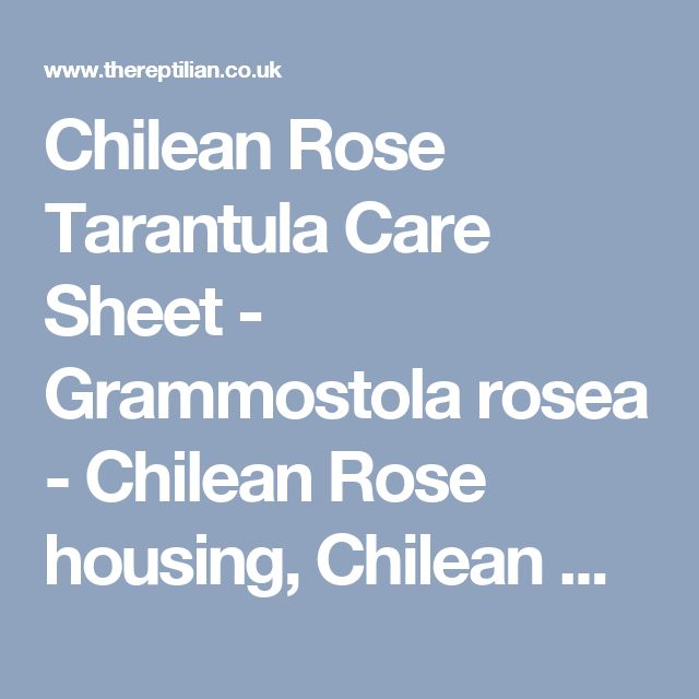 Chilean Rose Tarantula Care Sheet - Grammostola rosea - Chilean Rose housing, Chilean Rose feeding, Chilean Rose sexing, Chilean Rose breeding - TheReptilian.co.uk