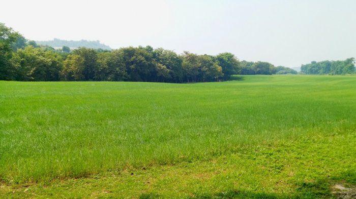 Bukan Hanya untuk Sapi, Rumput Hijau Tsou Ma Lai Juga Laris Disantap Wisatawan