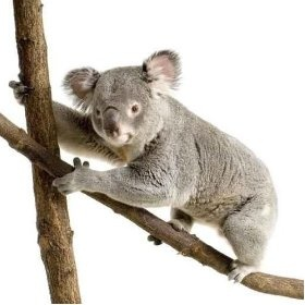When I graduate with my bachelors, my goal is to get my student visa and get my masters in Australia. I thought about getting an Australia flag, but it doesn't tie into my decor, so I am sticking with a Koala.