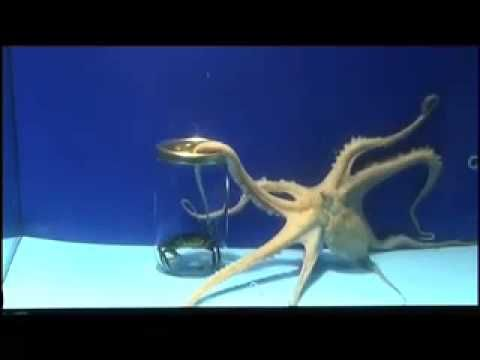 Are octopuses intelligent?    This video was produced and filmed at Aquarium Finisterrae:  http://www.casaciencias.org/aquarium/    We made the octopus's intelligence undergo three tests: plasticity, versatility and flexibility. The stimulus is its favourite prey: the crab.    =========     ¿Son inteligentes los pulpos?    Este vídeo fue realiza...
