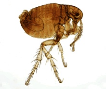 Fleas: the unwelcome tropical visitor that hitches a ride to your home  The common flea has survived all nature has to throw at it for 100 million years so it's unlikely that the problem will simply go away.      The creepy facts are that fleas can jump 150 times their own length and can live for 100 days without a blood meal.