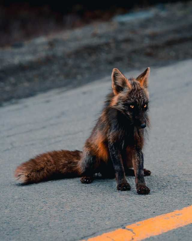 This Is A Cross Fox A Red Fox That S Partially Melanistic Giving It Black Patches Along With The Regular Red Melanistic Animals Rare Animals