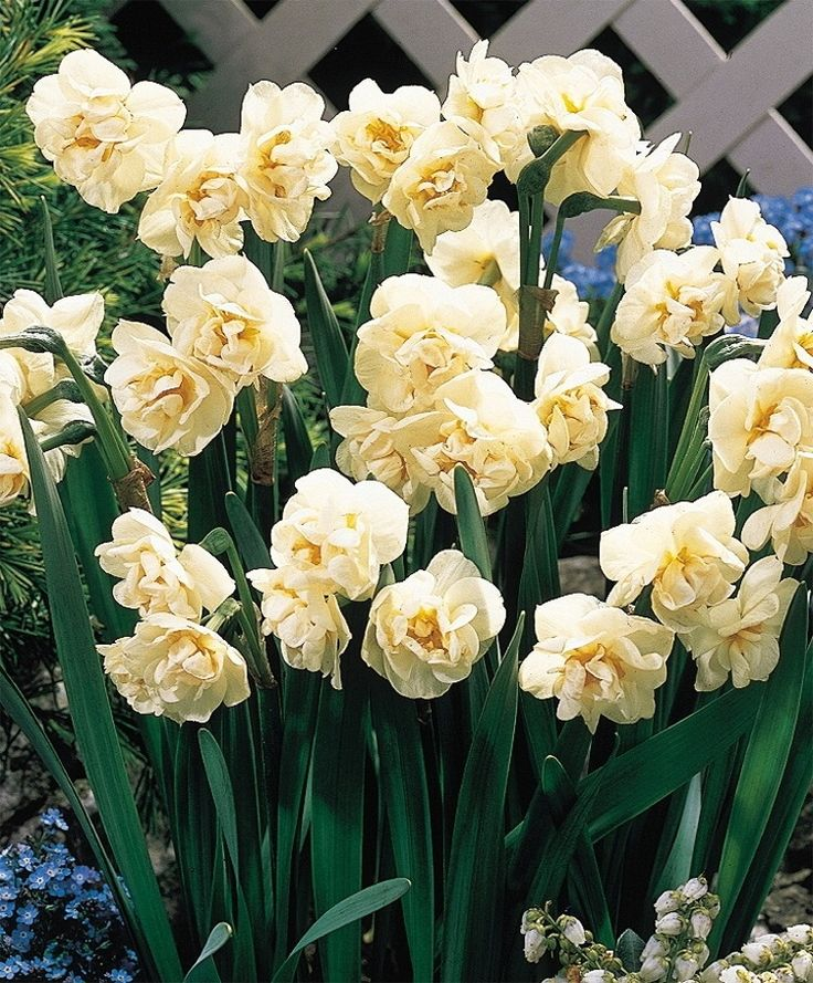 Narcissus Bridal Crown - Double Narcissi - Narcissi - Flower Bulbs Index 100 for $47
