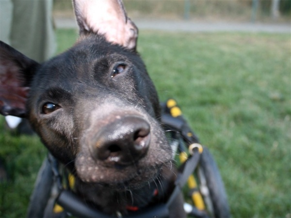 The Dog Knight rises: Injured pooch has his own Batmobile - Animal TracksAnimal Tracks, Injured Pooch, Pet Dogs, Dogs Knights, Pets Dogs, Knights Rise, Formosan Dogs, Animal Stories, Batmobile