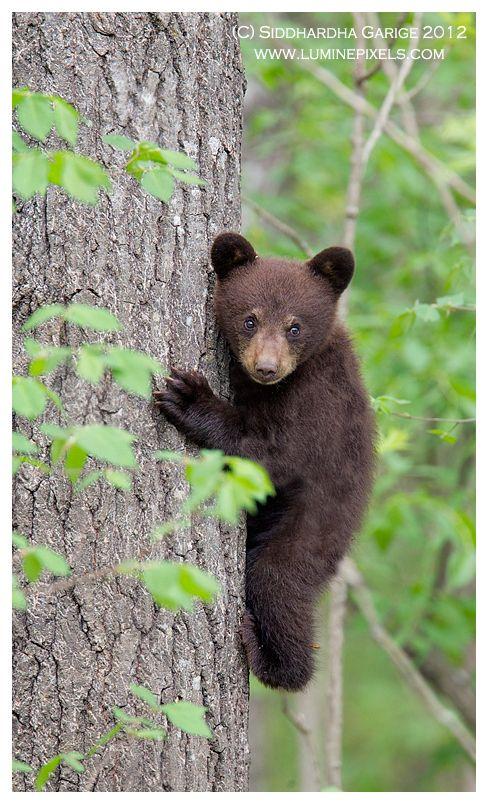 Black bear cub by Siddhardha Garige, via 500px