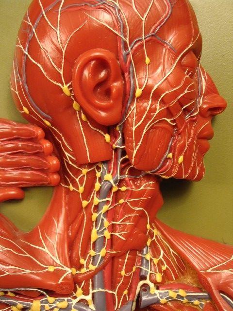 sistema linfático superior