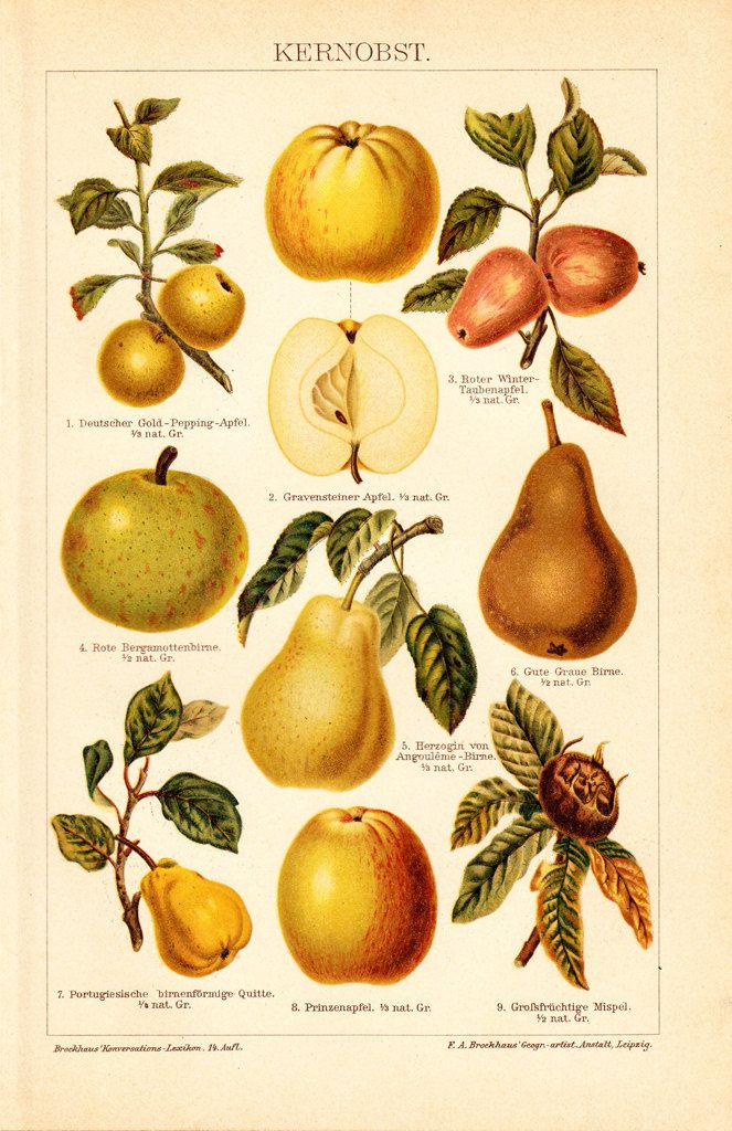 1908 Edwardian POME FRUIT print apple pear by TwoCatsAntiquePrints