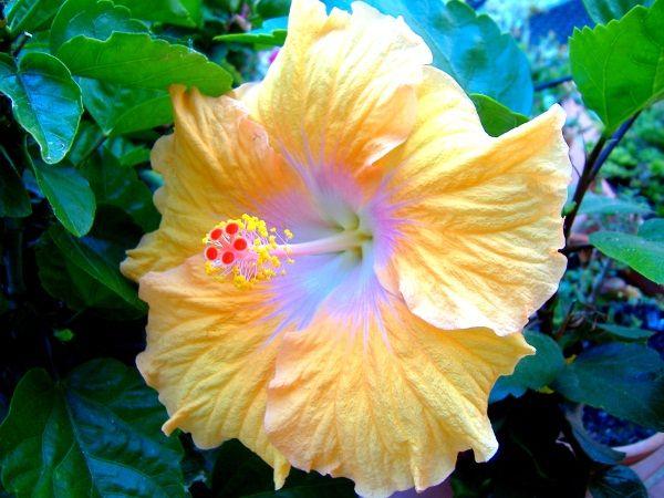Hibiskus (Hibiscus rosa-sinensis) - hibisco, rosa-da-china - by Cristina