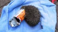 Hedgehog trapped in litter © RSPCA