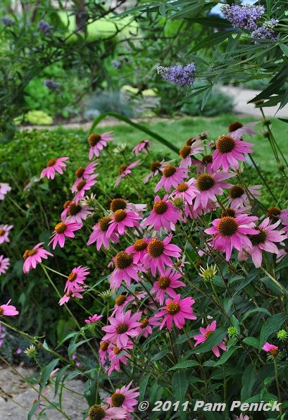 CANVAS PLANNER ✓ Another one of my FAVORITE perennials....Purple Coneflower. Such a reliable source of color every summer. :-)