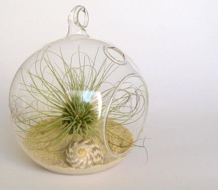 i think i could keep an airplant alive...: Sea urchin airplant terrarium ~ terradctl