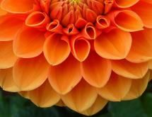 Names of Common Flowers in Mandarin Chinese: Dahlia
