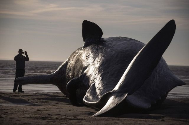 Sperm Whales Beached In Skegness