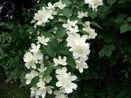 best 25 pfeifenstrauch ideas on pinterest jasmin pflanze duftjasmin and annabelle hortensie. Black Bedroom Furniture Sets. Home Design Ideas