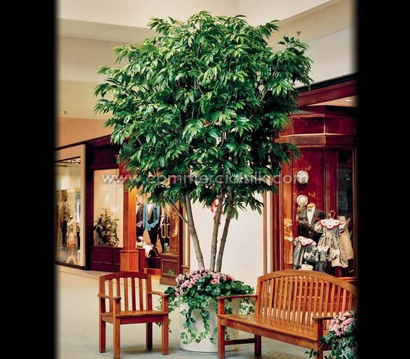 Indoor Ficus Alii Tree For Your Living Space.