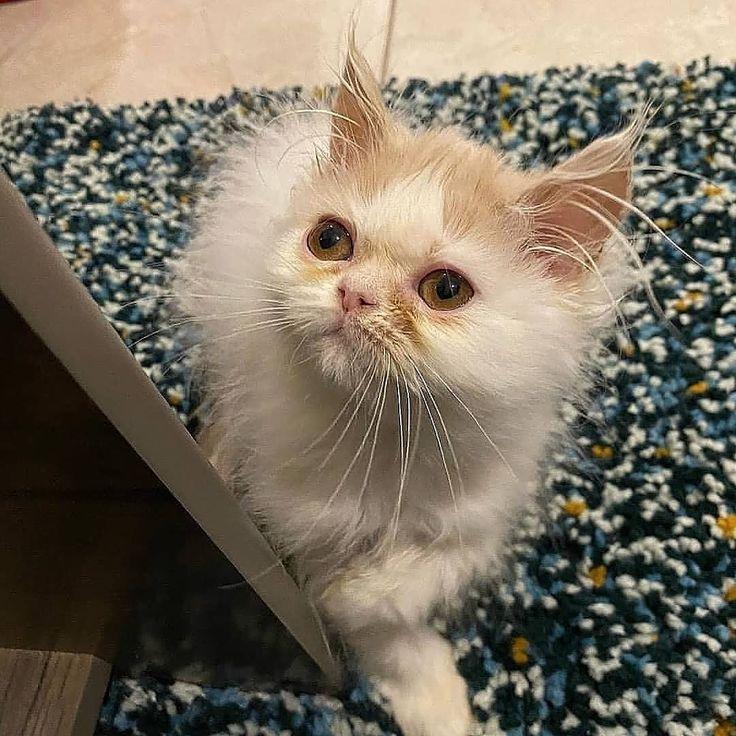 قطه انثي هاف بيكي للبيع بسعر 500 اللتواصل واتساب 0590920700 قطط قطط للبيع قطط جدة جدة جده دول فيس بيكي فيس Cats Animals