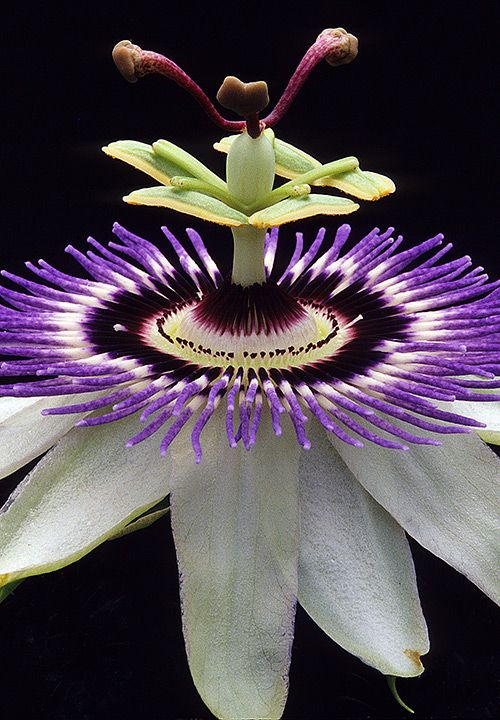 Gorgeous Passion Flower photography by Warren Krupsaw-- Butterflies love passion…