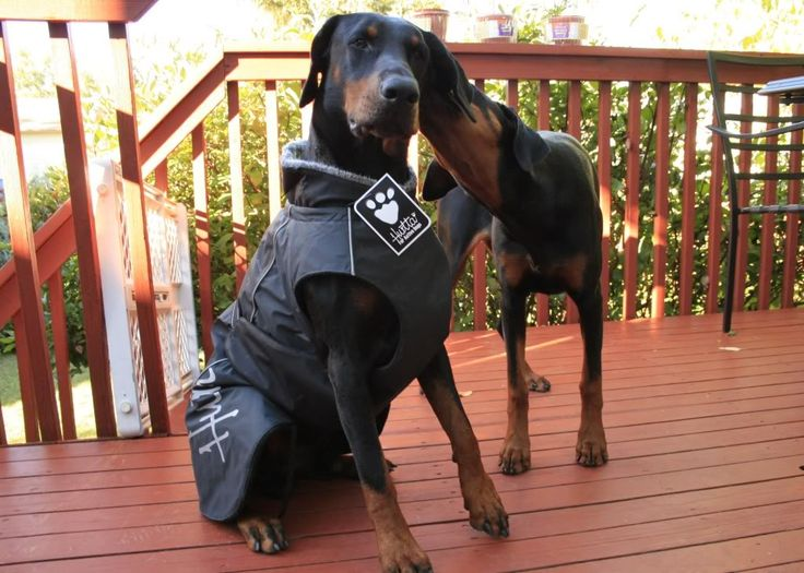 Gino and Asha are modeling coats from Hurtta - Doberman Forum : Doberman Breed Dog Forums