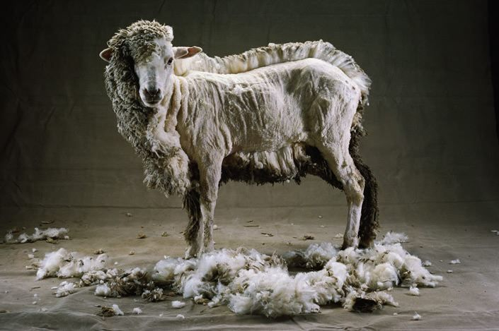 sheep half sheared - My favorite photo!!!