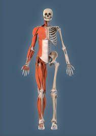 anatomia - Buscar con Google