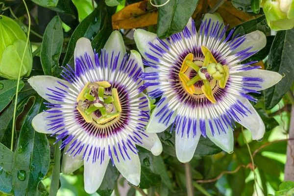 One Of The Most Glamorous Climbers Award Winning Passiflora Caerulea Blue Passion Flower Is A Vigorou Passiflora Caerulea Blue Passion Flower Passion Flower