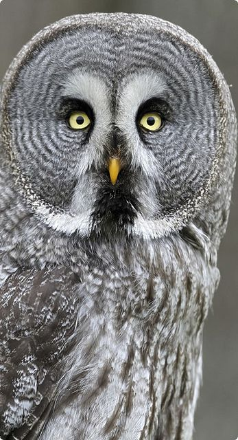 The Great Grey Owl does not have ear tufts and has the largest facial disc of any raptor. (In the Harry Potter series, the Weasley's exhausted owl, Errol, is a Great Grey Owl.)