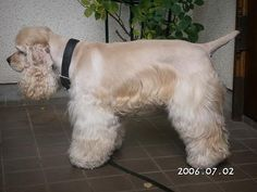 Image result for how to blend cocker spaniels skirting