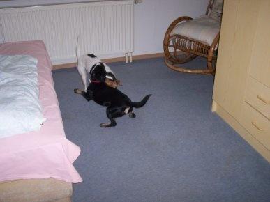 Ab geht die Post! Gut, dass die Hunde so klein sind, dass sie auch prima innerhalb des Hauses toben können :D