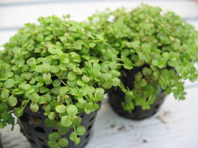 Micranthemum Monte Carlo potted live aquarium carpet plant 1 pot