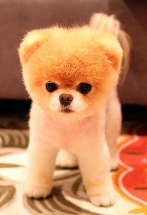 Cachorro raza pomerania