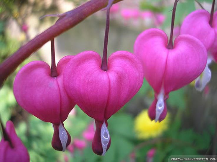 pink bleeding heart flower image wallpaper Wallpaper