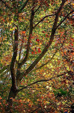 Autumn Leaves - Tamborine Mountain, QLD