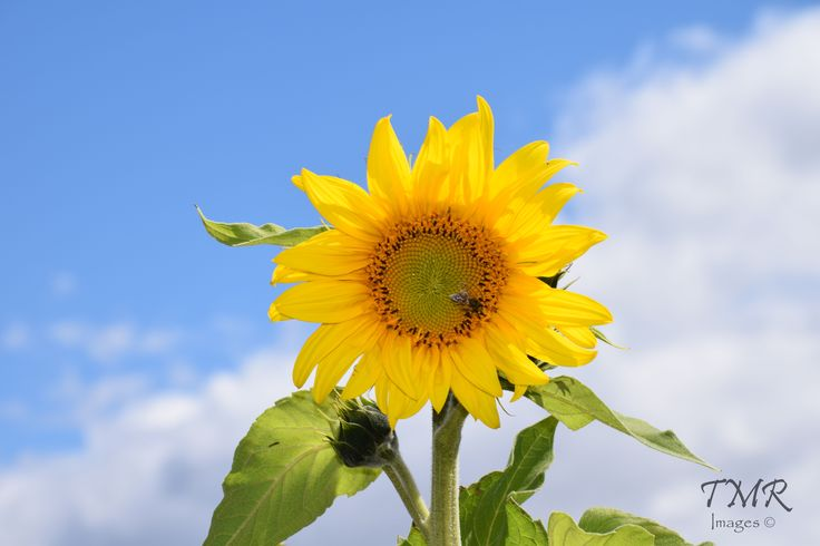 The Sunflower- all the colours in this image work really well together and I love how bright the image looks