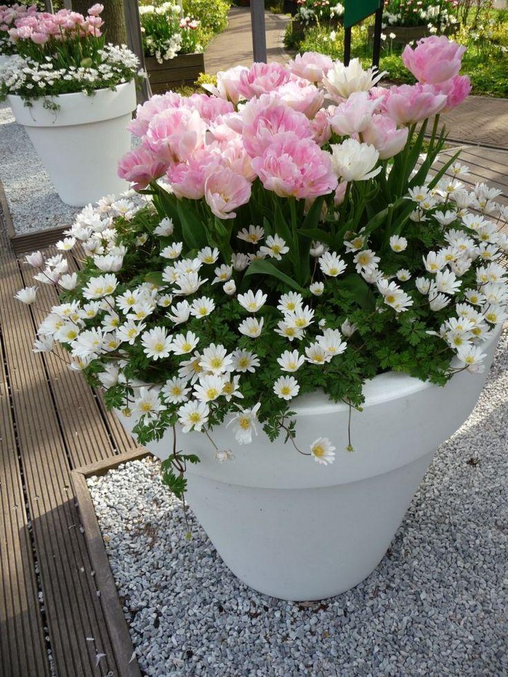 grosse pot e de tulipes 39 ang lique 39 et d 39 an monas blandas 39 white jardin patio. Black Bedroom Furniture Sets. Home Design Ideas